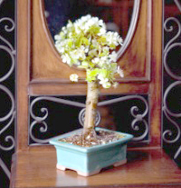 common pear bonsai7 Common Pear Bonsai Tree