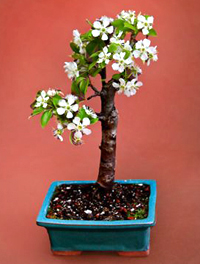 common pear bonsai8 Common Pear Bonsai Tree