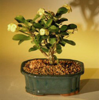 crown of thorns bonsai2 Crown Of Thorns Bonsai Tree