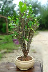 Crown Of Thorns Euphorbia Milii Dwarf White