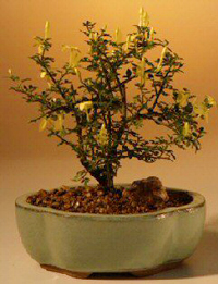 dwarf jasmine bonsai2 Dwarf Jasmine Bonsai Tree