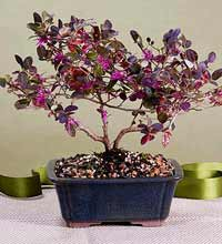 fringe flower bonsai1 Chinese Fringe Flower Bonsai Tree