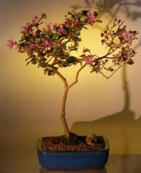 fringe flower bonsai2 Chinese Fringe Flower Bonsai Tree