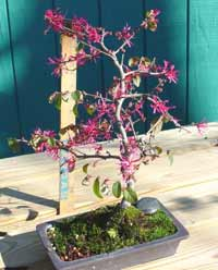 fringe flower bonsai5 Chinese Fringe Flower Bonsai Tree