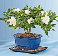 gardenia bonsai tree3 Gardenia Bonsai Tree