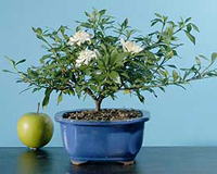 gardenia bonsai tree4 Gardenia Bonsai Tree