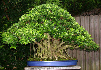 ginseng ficus bonsai tree ficus retusa. Black Bedroom Furniture Sets. Home Design Ideas