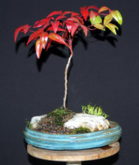 heavenly bamboo bonsai2 Heavenly Bamboo Bonsai Tree