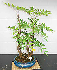 heavenly bamboo bonsai3 Heavenly Bamboo Bonsai Tree