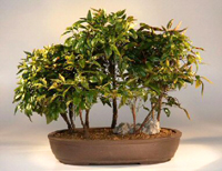 heavenly bamboo bonsai4 Heavenly Bamboo Bonsai Tree