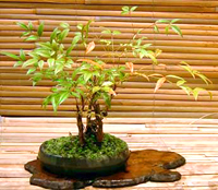 heavenly bamboo bonsai5 Heavenly Bamboo Bonsai Tree