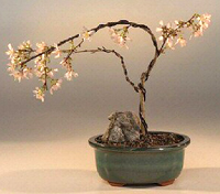 japanese cherry bonsai1 Japanese Cherry Bonsai Tree