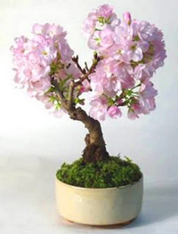 japanese cherry bonsai3 Japanese Cherry Bonsai Tree