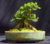 japanese honeysuckle bonsai2 Japanese Honeysuckle Bonsai Tree