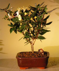 japanese honeysuckle bonsai3 Japanese Honeysuckle Bonsai Tree