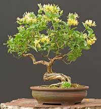japanese honeysuckle bonsai5 Japanese Honeysuckle Bonsai Tree