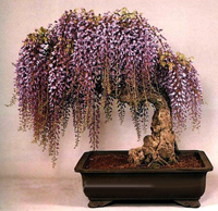 japanese wisteria bonsai11 Japanese Wisteria Bonsai Tree