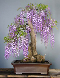 japanese wisteria bonsai4 Japanese Wisteria Bonsai Tree