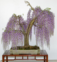 japanese wisteria bonsai5 Japanese Wisteria Bonsai Tree