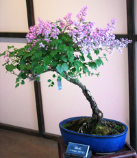 korean lilac bonsai1 Korean Lilac Bonsai Tree