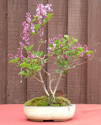 korean lilac bonsai2 Korean Lilac Bonsai Tree