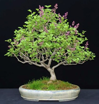 korean lilac bonsai4 Korean Lilac Bonsai Tree