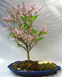 korean lilac bonsai6 Korean Lilac Bonsai Tree