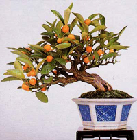 marumi kumquat bonsai1 Marumi Kumquat Bonsai Tree
