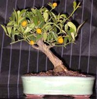 marumi kumquat bonsai3 Marumi Kumquat Bonsai Tree