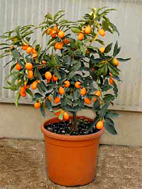 marumi kumquat bonsai4 Marumi Kumquat Bonsai Tree