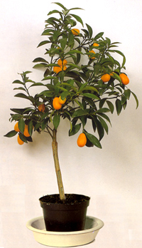 marumi kumquat bonsai5 Marumi Kumquat Bonsai Tree