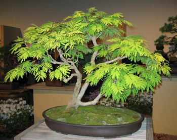 mimosa bonsai1 Mimosa Bonsai Tree