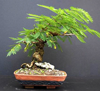 mimosa bonsai2 Mimosa Bonsai Tree