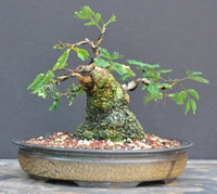 mimosa bonsai4 Mimosa Bonsai Tree