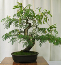 mimosa bonsai5 Mimosa Bonsai Tree