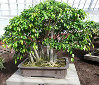 mistletoe fig bonsai1 Mistletoe Fig Bonsai Tree