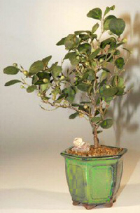mistletoe fig bonsai3 Mistletoe Fig Bonsai Tree
