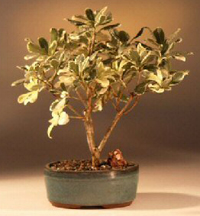 mock orange bonsai1 Japanese Mock Orange Bonsai Tree