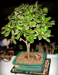 mock orange bonsai2 Japanese Mock Orange Bonsai Tree