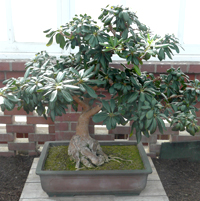 mock orange bonsai5 Japanese Mock Orange Bonsai Tree