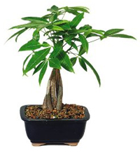 money bonsai tree1 Money Bonsai Tree