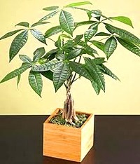 money bonsai tree6 Money Bonsai Tree