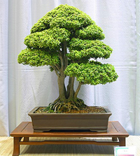 neea bonsai2 Neea Bonsai Tree