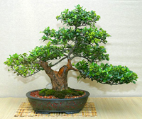 neea bonsai3 Neea Bonsai Tree