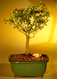 neea bonsai6 Neea Bonsai Tree