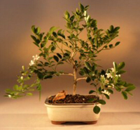orange jasmine bonsai1 Orange Jasmine Bonsai Tree