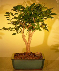 orange jasmine bonsai2 Orange Jasmine Bonsai Tree