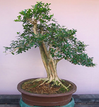orange jasmine bonsai4 Orange Jasmine Bonsai Tree