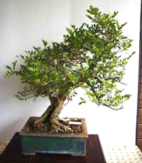 orange jasmine bonsai6 Orange Jasmine Bonsai Tree