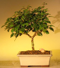 parrots beak bonsai1 Parrots Beak Bonsai Tree
